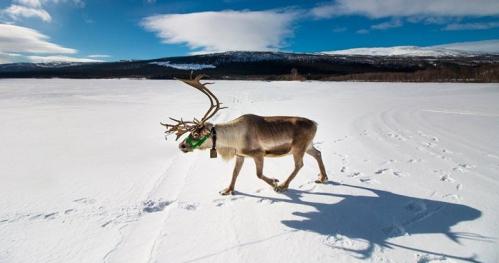 Laponia - rok w krainie reniferów